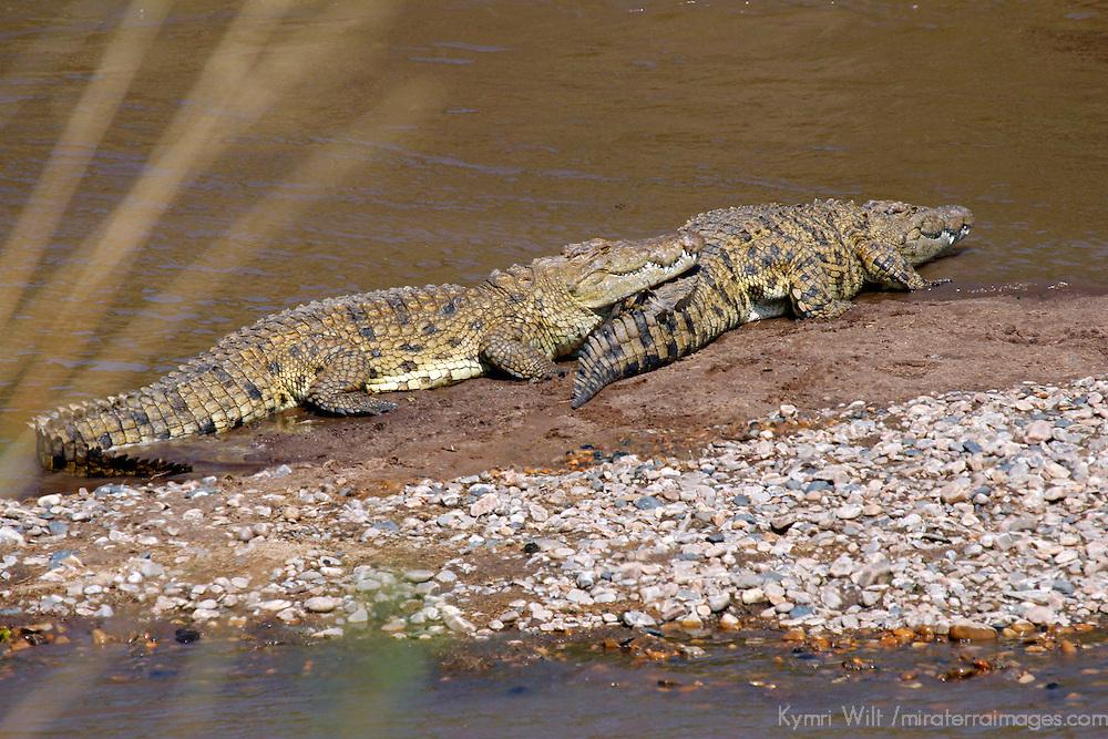 Africa, Kenya, Masai Mara. Nile Crocodiles on the banks of the Mara river.