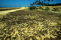 Tamil Nadu, India 1999. Fish is dispersed on the beach. Women spread the fish out on the hot sandy beach drying it on both sides. Due to the lack of refrigerators this is used as a common method to preserve fish.