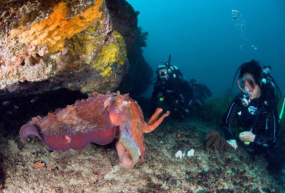 Giant cuttlefish (Sepia apama). Location : Sydney, Australia
