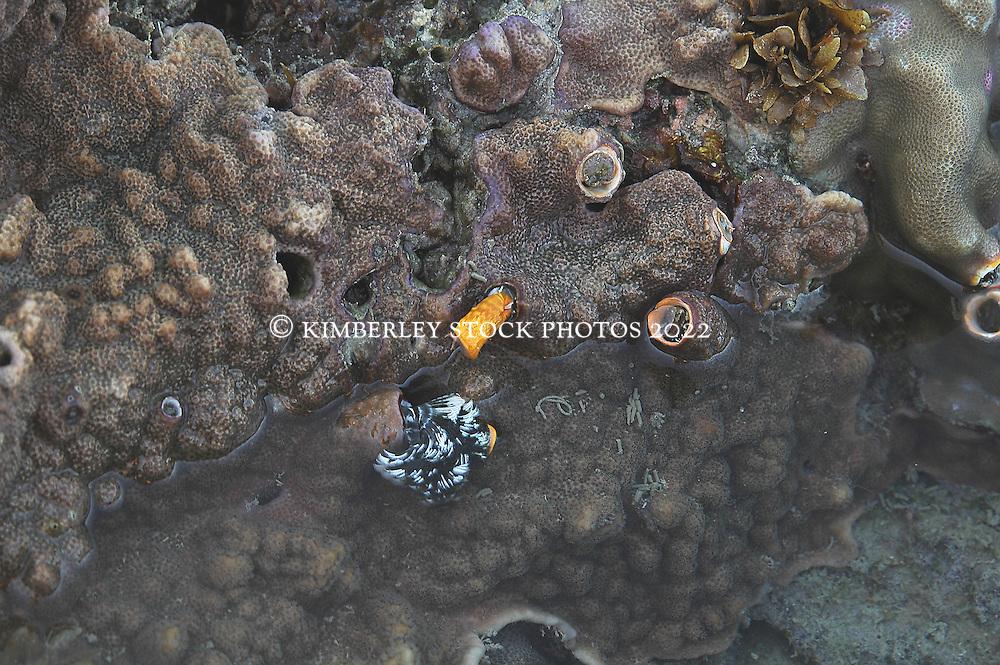 Christmas tree worms near Sampson Inlet on the Kimberley coast.