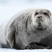 Bearded seal (Erignathus barbatus) resting on ice in Svalbard. At full magnification, the seal's curly whiskers that comprise the beard from which this animal's common name derives are clearly visible.