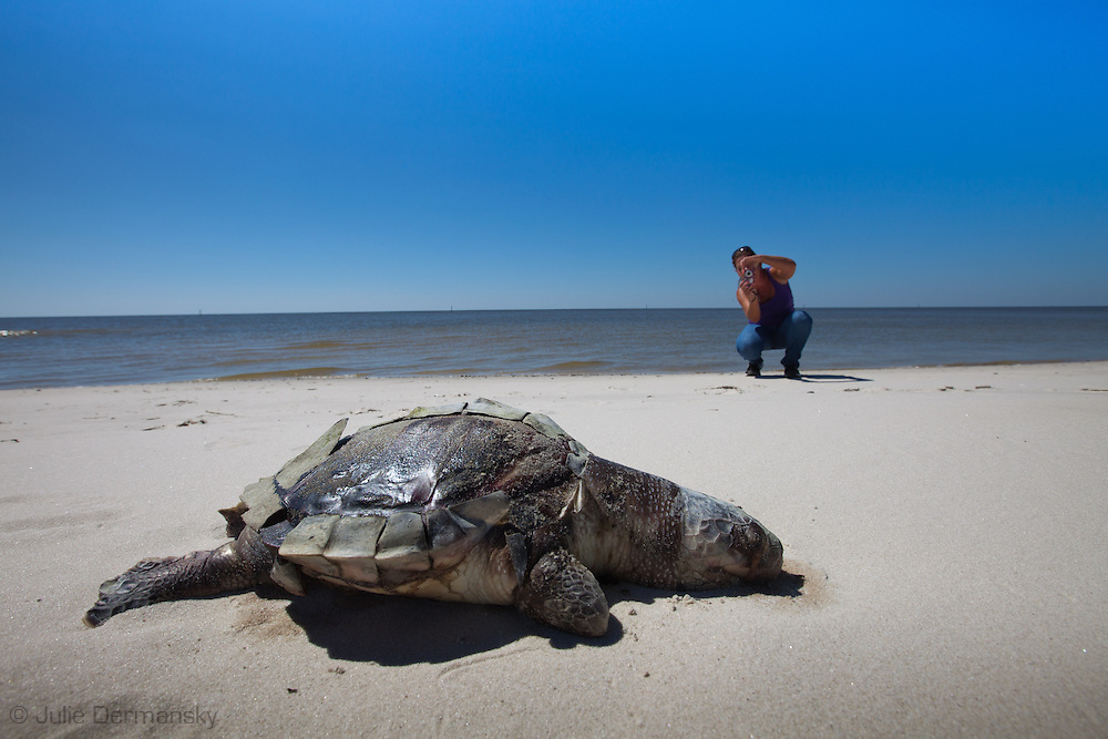 Laurel Lockamy, citizen journalist via facebook, documenting a dead sea turtle on the beach in Pass Christian Mississippi. <br /> An unprecedented number of dead young  Kemp's Ridley and Loggerhead sea turtles,  have washed up on the shores of Mississippi along the Gulf of Mexico starting almost a year after the BP oil spill. <br /> Test are being done on the high number of turtle and dolphin corpses found on the beaches but results have not been released.