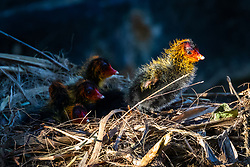 © Licensed to London News Pictures. 05/04/2020. London, UK. Newly born baby coot chicks are seen on a nest in a canal in Wapping, east London during sunny spring weather this morning. Photo credit: Vickie Flores/LNP