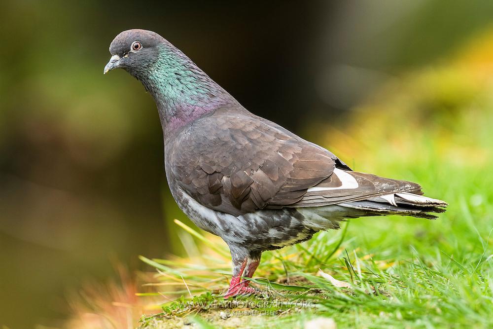 Rock Pigeon, New Zealand