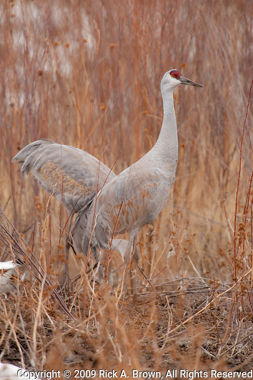 Bosque del Apache National Wildlife Refuge, New Mexico, Sandhill Cranes (Zonotrichia leucophrys)  foraging