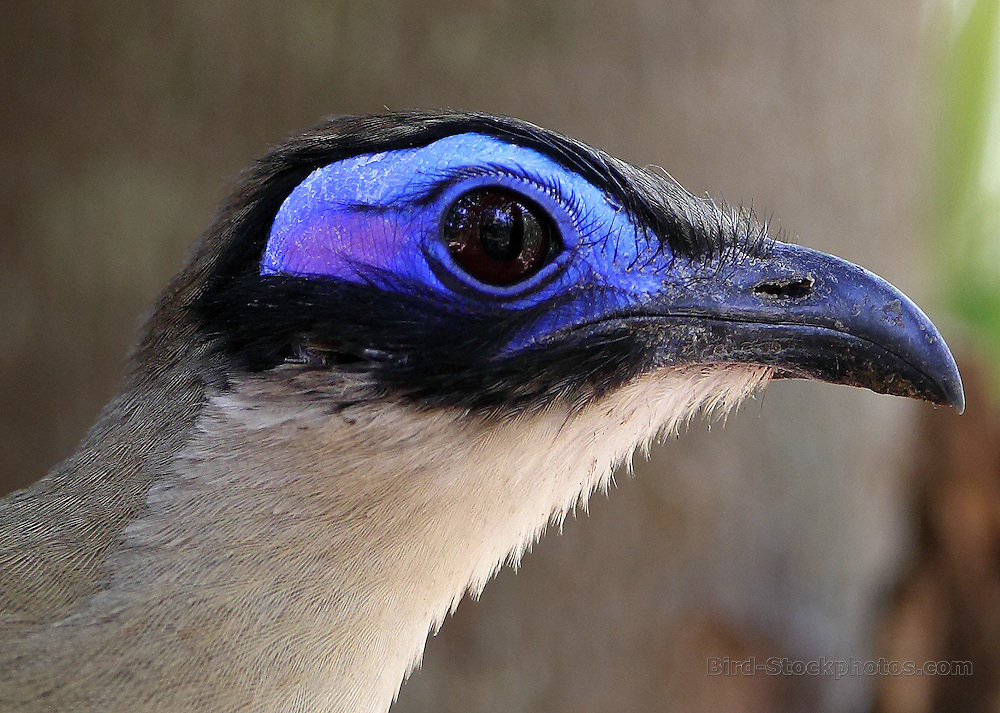Giant Coua, Coua gigas, Madagascar, by Paul Ellis