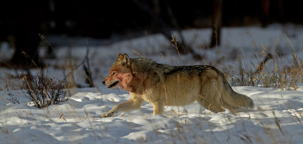 Wolf packs cooperate in bringing down prey animals, however, they do not do so as effectively as lion prides. Wolves rarely remain with their pack for more than two years and because of this  they have less time to learn how to hunt cooperatively. Within the pack, it is most often the mated pair that bring down the prey for their packmates.