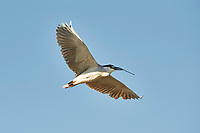 Black-crowned Night Heron (Nycticorax nycticorax) in flight carrying a nest stick -  Jocotopec, Jalisco, Mexico