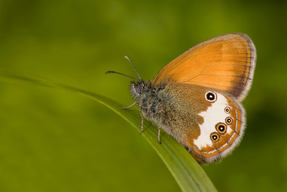 Pearly Health Butterfly resting on leaf against green background