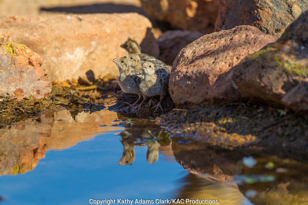 Gambel's quail; Callipepla gambelii; mother with babies, at water, Arizona; Sonoran Desert;  Summer