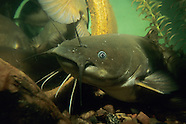 Yellow Bullhead, Underwater