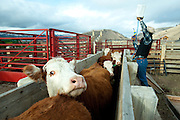 PRICE CHAMBERS / NEWS&amp;GUIDE<br /> Cody Lockhart prepares an anti-worm spray as calves head into the chute for inspection on weening day at Lockhart Cattle Company.