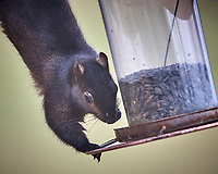 Black Squirrel Raiding the Bird Feeder. Image taken with a Nikon D5 camera and 600 mm f/4 VR telephoto lens (ISO 1100, 600 mm, f/4, 1/640 sec)