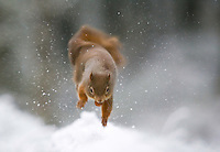 Red squirrel (Sciurus vulgaris) in winter forest, Cairngorms National Park, Scotland.