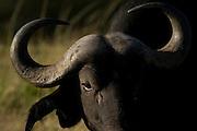 Buffalo, Masai Mara, Kenya