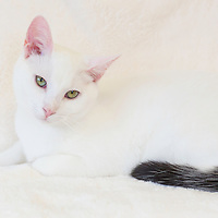 White cat with black tail and blue-green eyes.