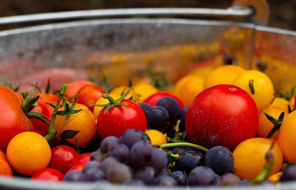 Garden Fruits and Vegetables. Tomatoes and Grapes in bucket.