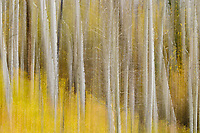 Aspens [Populus tremuloides] in autumn; Dallas Divide, Mt Sneffels Range, CO