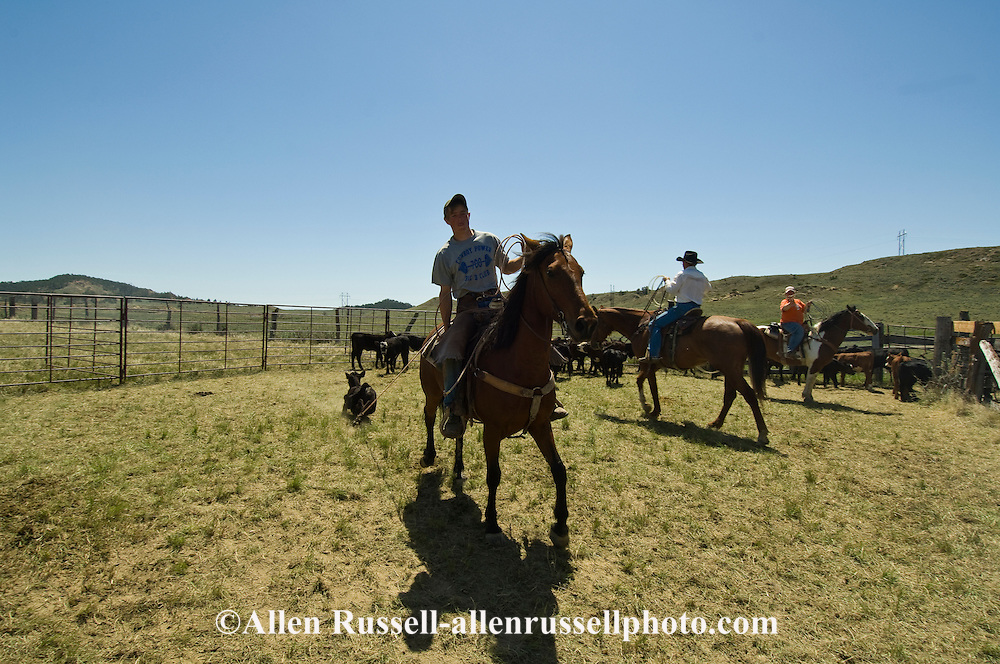 Teenage Cowboy, Cody Cavall drags calves to fire at branding, east of Miles City Montana
