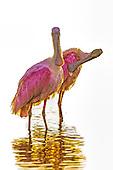 Roseatte Spoonbill