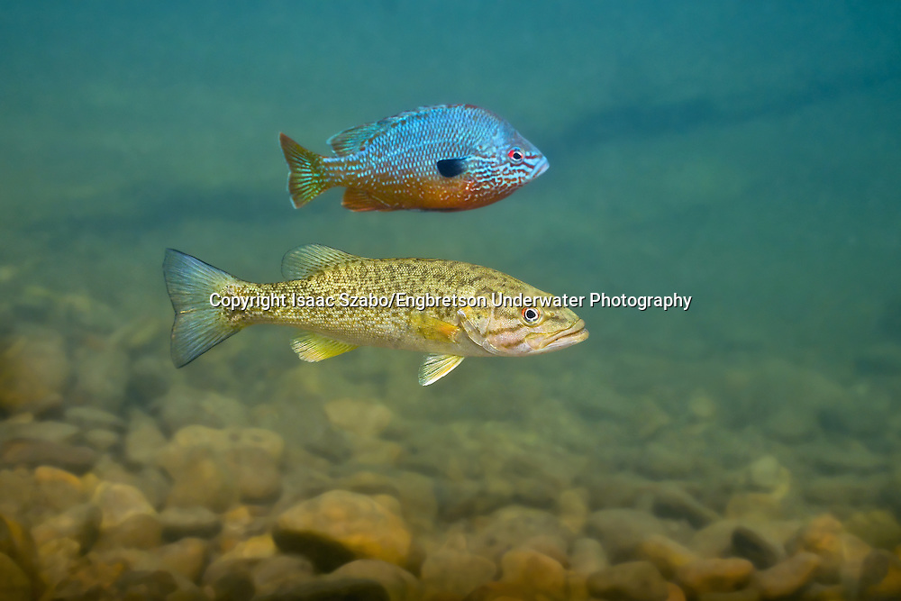 Smallmouth Bass (juvenile) and Longear Sunfish<br />