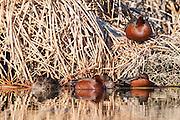 Cinnamon Teal, Anas cyanoptera, Washoe County, Nevada