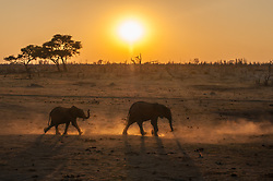 Two elephants scatter dust  as they make their way to a waterhole in Zimbabwe