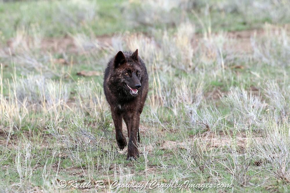 Gray wolf in habitat