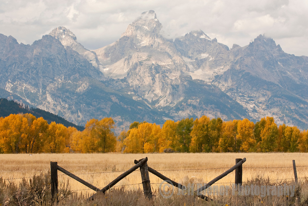 The Tetons tower above colorful Cottonwood trees in Grand Teton National Park, Jackson Hole, Wyoming.