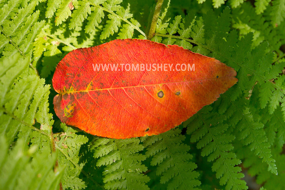 Cragsmoor, New York - A colorful leaf rests on ferns at the Bear Hill Nature Preserve on the Shawangunk Ridge on Aug. 30, 2012.