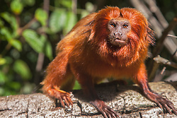 Portrait of an endangered golden lion tamarin (Leontopithecus rosalia) looking up from a tree,Brasil, South America