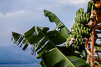 Indonesia, Sumatra. Samosir. Banana tree at Lake Toba.
