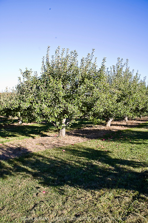 Clippings / Plantrx:  Apple orchard in the fall ( October)