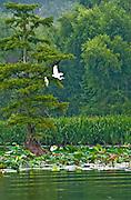 Egret in Flight Reel Foot lake near Tiptonville, TN. Reel Foot Lake