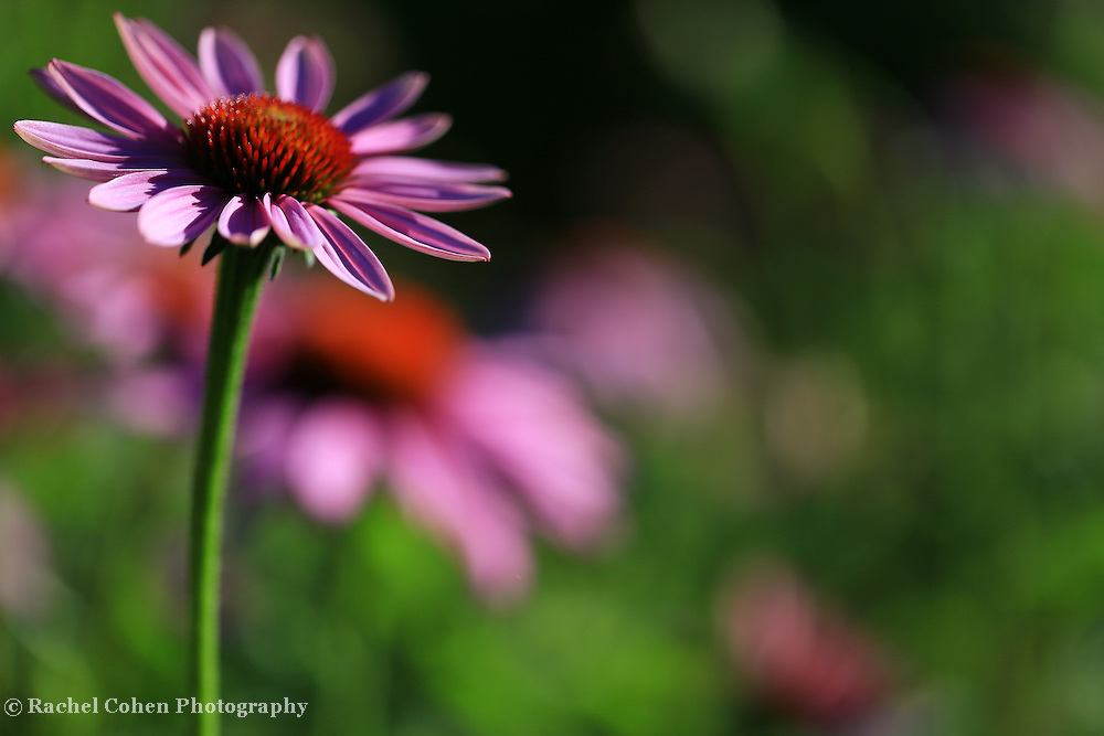 &quot;Purple Coneflower Dream&quot;<br />