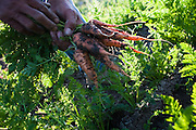 Rupert Lara pulls carrots from a community garden in Firebaugh, where documented unemployment is 40%.