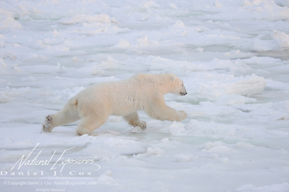 A polar bear tests the newly formed ice off of Cape Churchill, Manitoba. Canada.