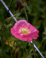 Pink poppy flower after the rain. Backyard summer nature in New Jersey. Image taken with a Leica T camera and 55-135 mm lens (ISO 400, 135 mm, f/5.6, 1/400 sec).