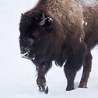 American Bison (Bison bison) juvenile in winter, Yellowstone National Park, Montana