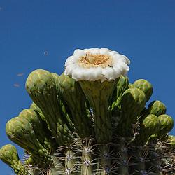 Saguaro, Carnegiea gigantea
