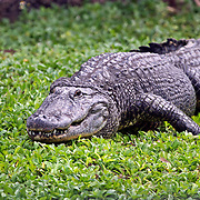 American Alligator crawling in foliage