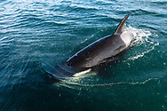 Orca (Orcinus orca) surfaces near boat in Southeast Alaska. Summer. Evening.