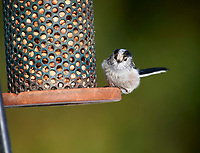 Long-tailed Tit (Aegithalos caudatus) at feeder, Westerham, England, : Photo by Peter Llewellyn