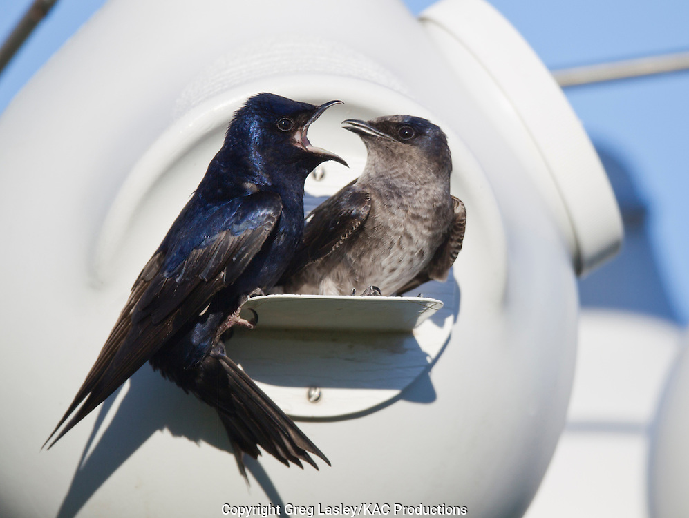 Purple Martin<br /> Progne subis<br /> pair at nesting cavity<br /> Hornsby Bend,<br /> Austin, Travis Co., Texas<br /> 12 March 2010