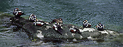 A group of Harlequin Ducks rest on a rock in the Elwah River, Olympic National Park.