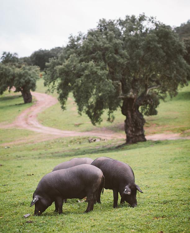 Iberico pigs grazing in Xtramedura, Spain.