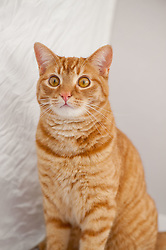 Orange Polydactyl Tabby Cat - Owner Moira Reilly