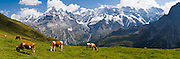 "Cows graze an alpine pasture in Sefinental across from Jungfrau mountain (13,600 feet) and the Lauterbrunnen Wall in Berner Oberland, Switzerland, the Alps, Europe. UNESCO lists ""Swiss Alps Jungfrau-Aletsch"" as a World Heritage Area (2001, 2007). Panorama stitched from 4 images. Published in Ryder-Walker Alpine Adventures ""Inn to Inn Alpine Hiking Adventures"" Catalog 2007-2009, 2011, 2012, 2013."