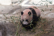 A baby panda Xiang Xiang, born from mother panda Shin Shin on June 12, 2017, is seen during press preview ahead of the public debut at Ueno Zoological Gardens in Tokyo, Japan December 18, 2017. 18/12/2017-Tokyo, JAPAN