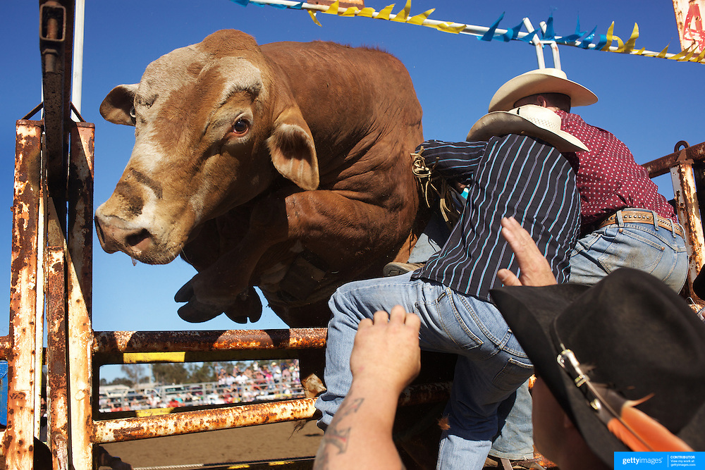Cowboy's struggle to keep a bull in the chute as it attempts to escape before competition during the Novice Bull Riding Event at the Branxton Rodeo at Branxton, Hunter Valley,  New South Wales, Australia, on Saturday 17th October 2009.  Photo Tim Clayton.